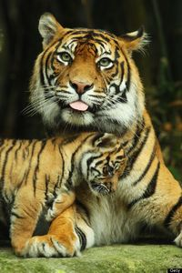 Some may seem ferocious and terrifying, others cute and cuddly, but all tigers share one thing in common -- they're an endangered species. Tigers (Panthera tigr