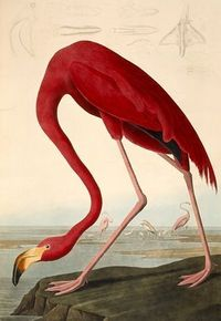John James Audubon (1827-1838), Birds of America; copperplate engraving, colored by hand.