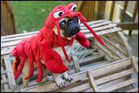 Funny Lobster Pug Costume | Funny Pug Pictures