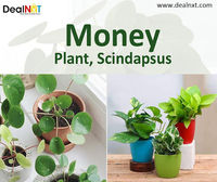 """Money Plant, Scindapsus  Scindapsus aureus is the scientific name of the """"money plant"""" grown in homes in Asia. Common names are Pothos, Devils Ivy, and Silver Vine. The original Money plant species is a green and mustard variegated plant, whic..."""