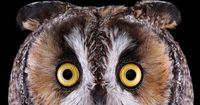 Long-eared owl: The Long-eared Owl is a frequent target for other birds of prey, including Great Horned Owls and Barred Owls. When facing a formidable threat, it has a few tricks up its wing. It might pull in its plumage and stand up straight, elongating ...