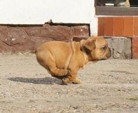 A chubby, brown puppy running as fast as it can.