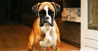 this boxer looks like one of those sad clowns... right?
