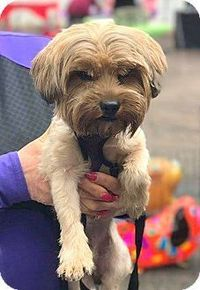 New Jersey, NJ - Yorkie, Yorkshire Terrier. Meet Mercerville, NJ - Mylo, a dog for adoption. http://www.adoptapet.com/pet/18130377-new-jersey-new-jersey-yorkie-yorkshire-terrier