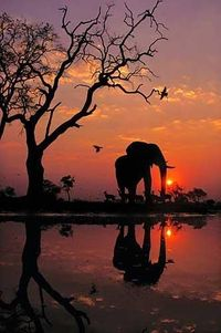 Elephant at Dawn, Botswana, 1989