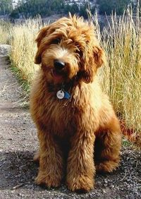 """I MAY WANT FOR MY NEXT DOG!!! I would want the poodle to be standard...I assume that is the mix here Previous poster says: """"I finally found a dog I love and I'm not allergic too. So cute this Golden-doodle! Golden Retriever and Poodle mix.....On t..."""