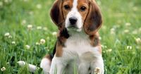 Beagles. The best dogs ever.