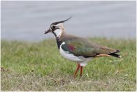 the northern lapwing, vanellus vanellus, is a bird of the plover family. it is common through eurasia. it is highly migratory over most of its extensive range, wintering further south as far as north africa, northern india, pakistan, and parts of china. f...