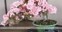 Product Type: Bonsai Use: Indoor Plants Cultivating Difficulty Degree: Very Easy Classification: Happy Farm Full-bloom Period: Summer Type: Blooming Plants Flowerpot: Excluded Location: Living Room Fu
