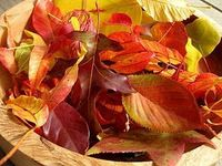 autumn leaves dipped in unrefined beeswax