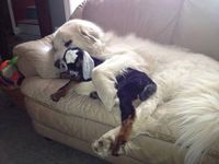 �€œAWWW!!!! A baby goat kid, recovering from listeria�€�being protected by its �€œpyr guardian�€. MELTS MY HEART.