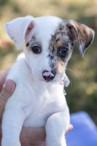 I'm not normally a fan of little dogs but how can you say no to that face?? Hi! I'm Fiona and I am a 2-month-old Beagle/Chihuahua mix who weighs only 5 pounds. I am a friendly girl who is good with children and other dogs, but it is unknown whethe...