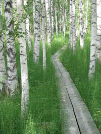 Nordic Thoughts: A birch forest in Finland