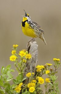 Eastern Meadowlark - Click image to find more hot Pinterest pins