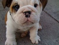 A chubby puppy staring up to the camera.