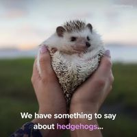 Here are some hedgehogs to brighten your day.