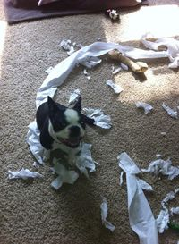 It once was a roll of toilet paper. She was proud! - http://www.bterrier.com/roll-toilet-paper-moonshine-prime-louisville-usa-photo/ - https://www.facebook.com/bterrierdogs