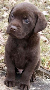 a new chocolate lab puppy to welcome us to the new house? yes, please.