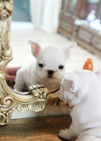 Baby French Bulldog