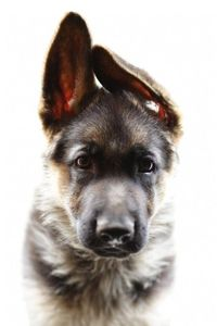 #germanshepard #puppy #cute #dog #animal