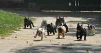 Running of the Bulls (OK, so they're actually French Bulldogs, but they are way better than bulls anyway)
