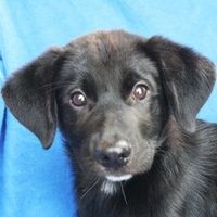 Rainbow is an adoptable Labrador Retriever searching for a forever family near Huntley, IL. Use Petfinder to find adoptable pets in your area.