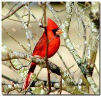 "Cardinal bird/ I will become a permanent resident. I stay year around. You can hand tame me. I use a 6Ft high feeder with a tray below for spills. I like using wire tube feeders with a perch. Lure me with ""Cardinal Mix""-safflower seed and black-oi..."