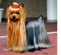 The Westminster Kennel Club | Breed Information: Yorkshire Terrier