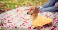 <3 Dachshunds! My dachshund Harley is this color!