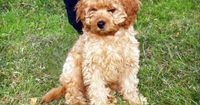 I would do anything in the world to get a dog! ANYTHING! Cutest thing on earth. Cavapoo