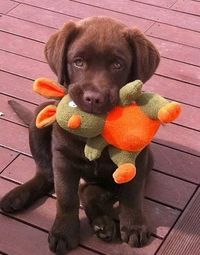 chocolate lab..........:) - Click image to find more Other Pinterest pins