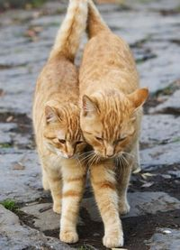 orange cats, ginger cats and orange tabby cats.