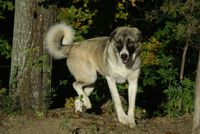 We breed Toy Australian Shepherds, Mini Australian Shepherds, and Anatolian shepherds that we breed and test to the highest standards.