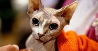 """""""Hairless"""" Sphynx cat... but here you can see its peach fuzz!"""