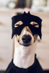 Happy Dog Dressed As Superhero For Halloween greyhounds and whippets