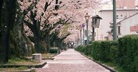 Sakura is a well known symbol of Japan and Japanese culture as well as symbol of spring. Sakura blossom season is relatively short. After the disclosure of the