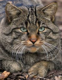 green eyes, tiger cats and cats.
