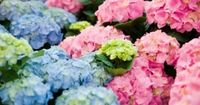 """Among the plants for whom the description """"big-headed"""" is a compliment, hydrangeas make spherical, flat or cone-shaped clusters of white, pink, red or blue brac"""