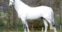 A Belgian Warmblood, the ideal riding and competition sport horse