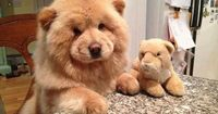 ..Puppies which look like Teddy Bears