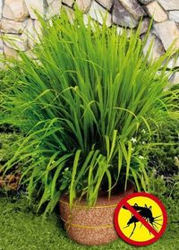 Mosquito grass (a.k.a. Lemon Grass) repels mosquitoes. The strong citrus odor drives mosquitoes away - very functional patio plant.