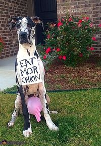 Kelsey: This is my 6 month old Great Dane, Harper! I thought dressing her up as a cow would be too boring, only having udders; so I took the costume a...