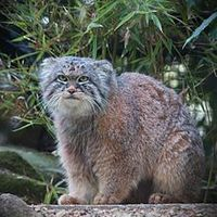 Pallas's cat, also called manul from the steppes of Central Asia