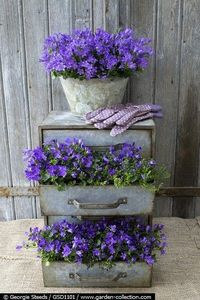 Chest of drawers planted with Campanula...love this idea!