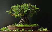 Ficus I Shape Bonsai  Let nature's beauty redecorate the corners of your room and escalates a fresh airflow. A low-maintenance plant, this Bonsai plant with its white vase is known to spread peace and comfort with its soothing presence. A miniatur...