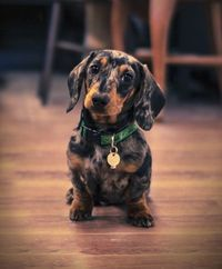 doxie