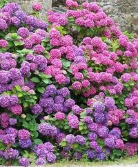 You can change the blossoms of Hydrangeas (Hydrangea spp.) from pink to blue by increasing the acidity of the soil. While adding coffee grounds may reduce soil